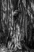 Detail of a stately old juniper tree in the Oregon Badlands Wilderness, near the city of Bend