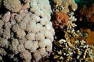 Bubble Coral Plerogyra sinuosa, Bali Indonesia