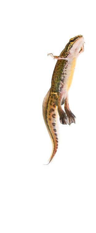 Male palmate newt swimming underwater (field studio).