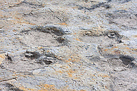Dinosaur tracks at the Clayton Dinosaur Trackway.  There at least 4 different kinds of dinosaur tracks in these trackways, including both plant eaters and meat eaters.  Clayton Lake State Park, New Mexico.