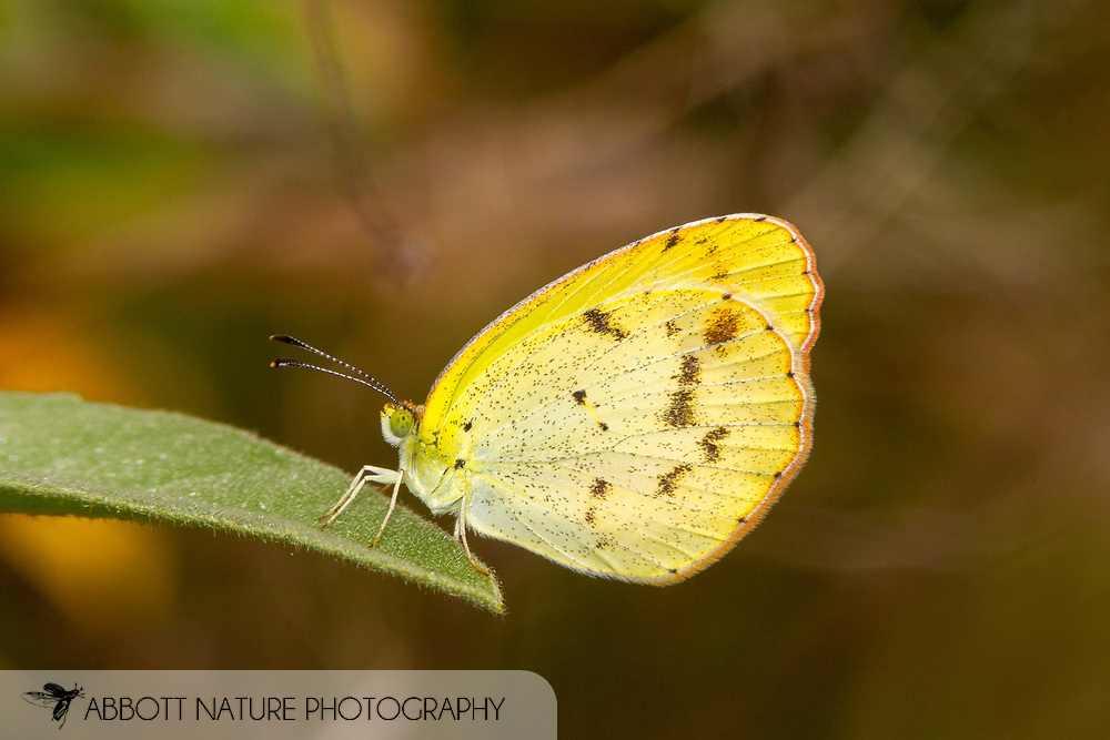 Little Yellow - Hodges#4237 (Pyrisitia lisa)<br /> United States: Texas: Lamar Co.<br /> Camp Maxey National Guard, Powderly<br /> 27-Aug-2017<br /> J.C. Abbott #2979