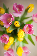 Arrangement display of tulips, Tulipa, in springtime in the Cotswolds, Oxfordshire, UK