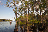 CYPRESS TREES GROWING IN THE SHALLOW WATER OF LAKE BISTINEAU, LOUISIANA
