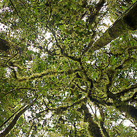 View looking straight up into the canopy of the very mossy montane rain forest of the Foja Mountains.<br />