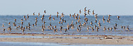 Shorebird flock in synchronous flight, mixed species, Gulf Coast, © 2015 David A. Ponton
