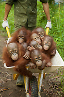 A keeper at IAR transports a group of juvenile orangutans by wheelbarrow to a patch of forest where they will learn skills for the wild <br />