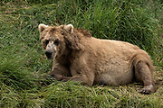 A brown bear sow known as Simba rests in the grass at the McNeil River State Game Sanctuary on the Kenai Peninsula, Alaska. The remote site is accessed only with a special permit and is the world's largest seasonal population of brown bears in their natural environment.