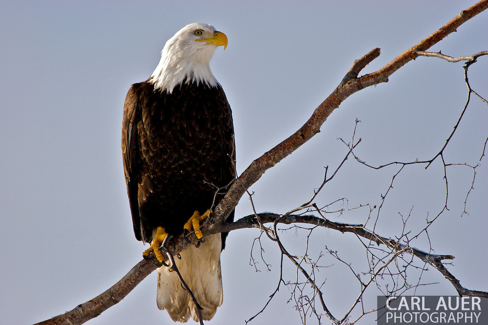 Eagles of Eagle River, Alaska