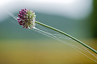 Onion flower, Lake Skadar National Park, Montenegro