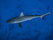 Grey reef shark-Requin gris (Carcharhinus amblyrhynchos) French Polynesia.