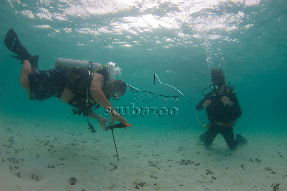 Two divers, taking turns to put in sand anchors using scuba gear, Mantanani, Sabah, Malaysia