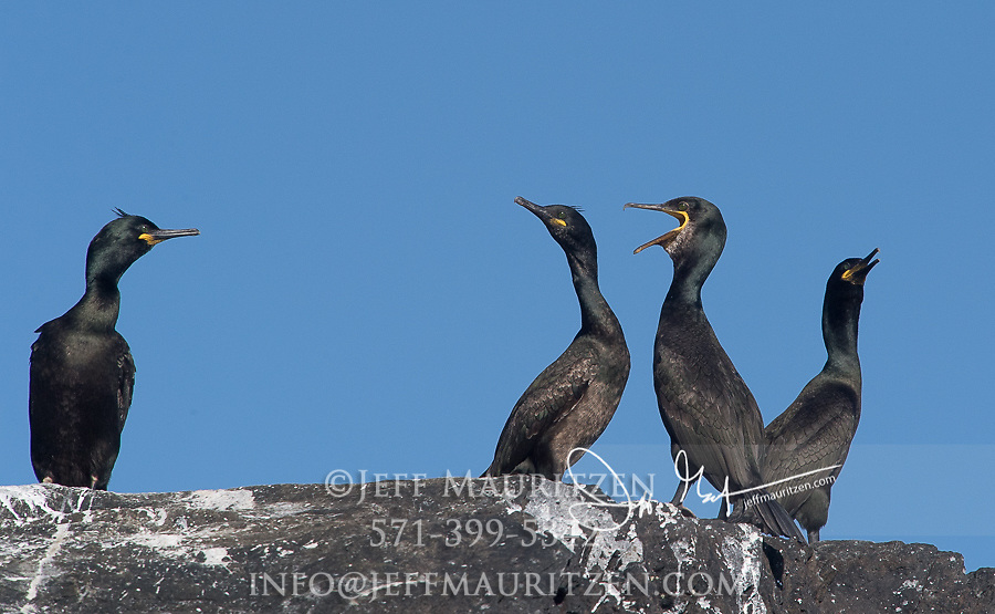 """Cormorants or """"shags"""" rest on a rocky outcrop of Little Skellig island off the coast of County Kerry, Ireland."""