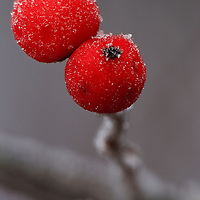 Close-up of winter frost on winterberry (Ilex verticillata) berries growing in a wooded swamp in Greenfield, MA taken under overcast conditions during the beginning of a snow storm.