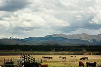 Colorado Cattle