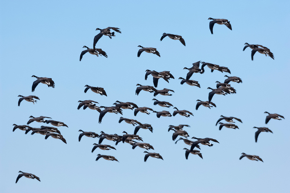Cackling Geese, Clay County, Nebraska