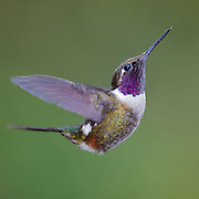 Male of the Purple-throated Woodstar (Calliphlox mitchellii) from Mindo, Ecuador.