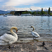 Swans, Lake Lucerne and Swiss Alps in Lucerne, Switzerland<br />