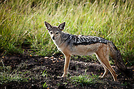 The Jackal – Blacked Backed Jackal - Maasai Mara Game Reserve, Kenya, Africa: This image is of a black-backed jackal and although the most lightly built of jackals, it is the most aggressive, having been observed to singly kill animals many times its own size, and its inter pack relationships are more quarrelsome. Edition on 100 EXP0315