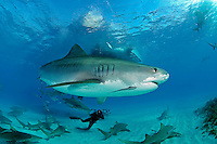 Tiger Shark, Photographer, and Dive Boat