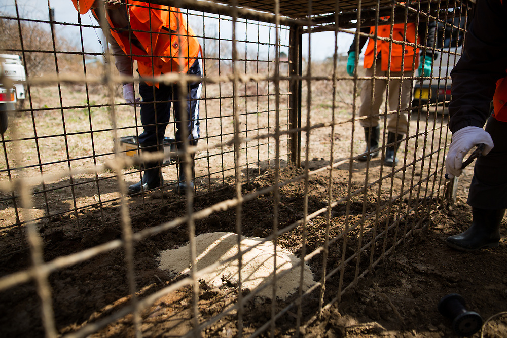 TOMIOKA TOWN, JAPAN - MARCH 30 : Members of Tomioka town's animal control hunters group set-up a booby trap by putting bait for wild boars at a residential area near Tokyo Electric Power Co's (TEPCO) tsunami-crippled Fukushima Daiichi nuclear power plant in Tomioka town, Fukushima prefecture, Japan, March 30, 2017. (Photo by Richard Atrero de Guzman/NUR Photo)