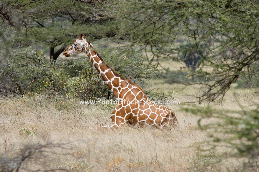 Kenya, Samburu National Reserve, Kenya, Reticulated Giraffe, Giraffa camelopardalis reticulata, resting in the shade of an Acacia tree February 2007