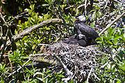 Little Shag nest, New Zealand