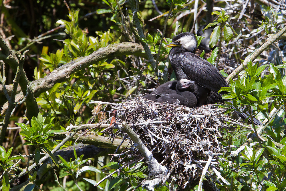 Little Shag nest, New Zealand