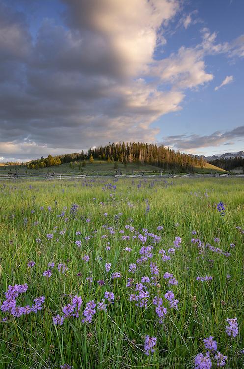 Rydberg's penstemon (Penstemon rydbergii)  Sawtooth Mountains Idaho
