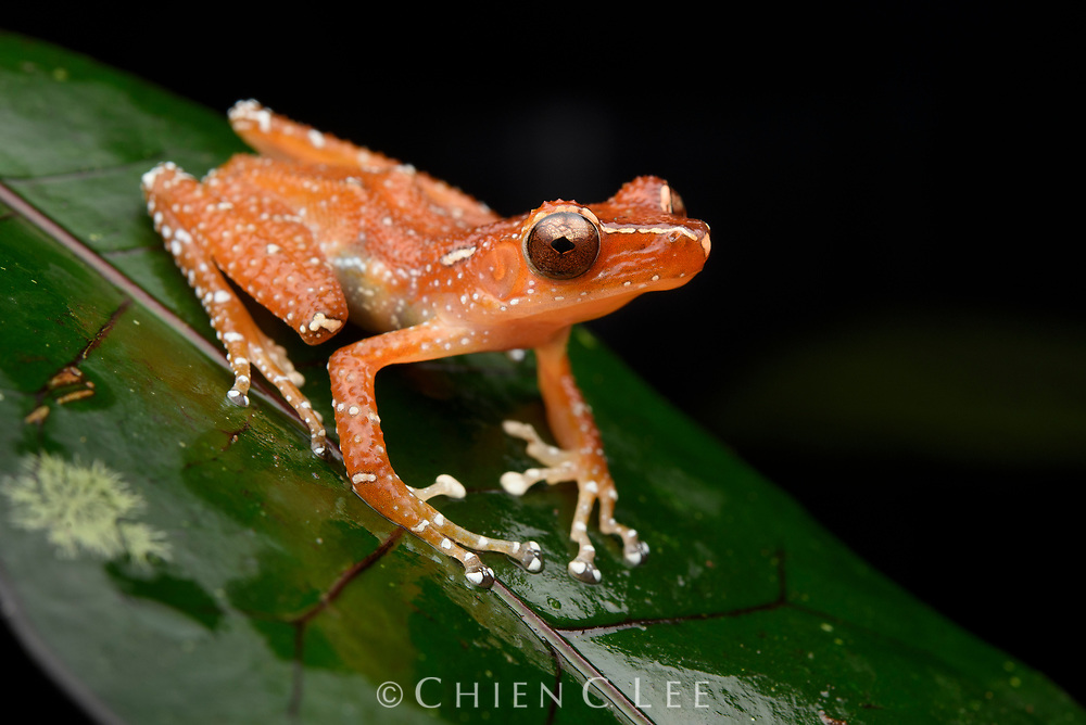 Cinnamon Tree Frog (Nyctixalus pictus). Sarawak, Malaysia.