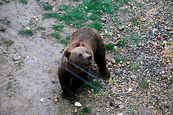 ROMANIA ZARNESTI 29OCT12 - First steps out of a holding den into a training area by a newly rescued brown bear at the Zarnesti Bear Sanctuary in Romania, funded by WSPA...With over 160 acres (70 hectares) spread over a wooded hillside, it is Romania's first bear sanctuary and today houses 67 bears rescued from ramshackle zoos and cages at roadside restaurants.......jre/Photo by Jiri Rezac / WSPA..© Jiri Rezac 2012