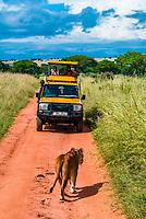 Lioness walking in front of a safari vehicle, Murchison Falls National Park, Uganda.