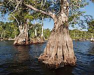 Pond cypress tree along perimeter of Blue Cypress Lake shows flared base for stabilty in lake bottom, © 2007 David A. Ponton