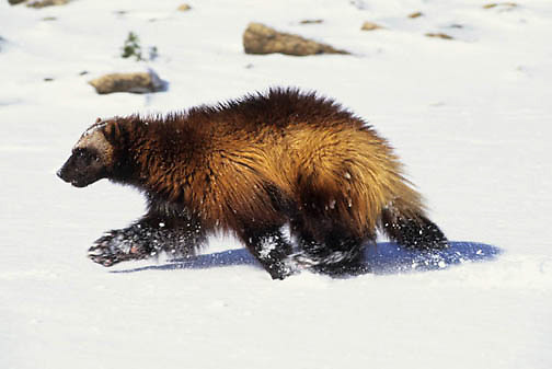 Wolverine, (Gulo gulo) In Snowy foothills of the Rocky mountains running. Winter. Captive Animal.