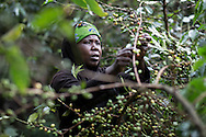 Lucy Wanjiku, 49, picks coffee in her fields in Maigwabi Village in Nyeri, Kenya on Tuesday, November 5, 2013.  Green Mountain Coffee Roasters (GMCR) supports Kenyan coffee farmers by providing dairy goats, banana tissue culture plants, access to financial services through the formation of Savings and Internal Lending Communities and training through Catholic Relief Services and Caritas Nyeri in intercropping and farming. The project supports 1500 coffee farmers.