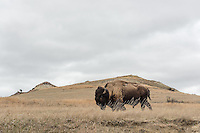 A bison blends into the North Dakota landscape at Theodore Roosevelt National Park