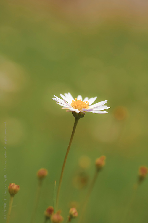 everlasting daisy against green bokeh background