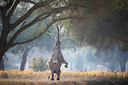 "Aim High :-)  In Africa many trees are distinguished by their ""browse line""  This is the the boundary between the healthy leafy branches of the tree and the lower part which has been eaten by the local herbivores.  Occasionally a big male elephant will stand on two legs to reach above the browse line and grab his next bite."
