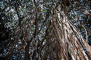 Mauritius. Banyan Tree