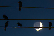 Middletown, New York - Crows perch on wires as the crescent moon shines in the background at twilight on Nov. 14. 2015.