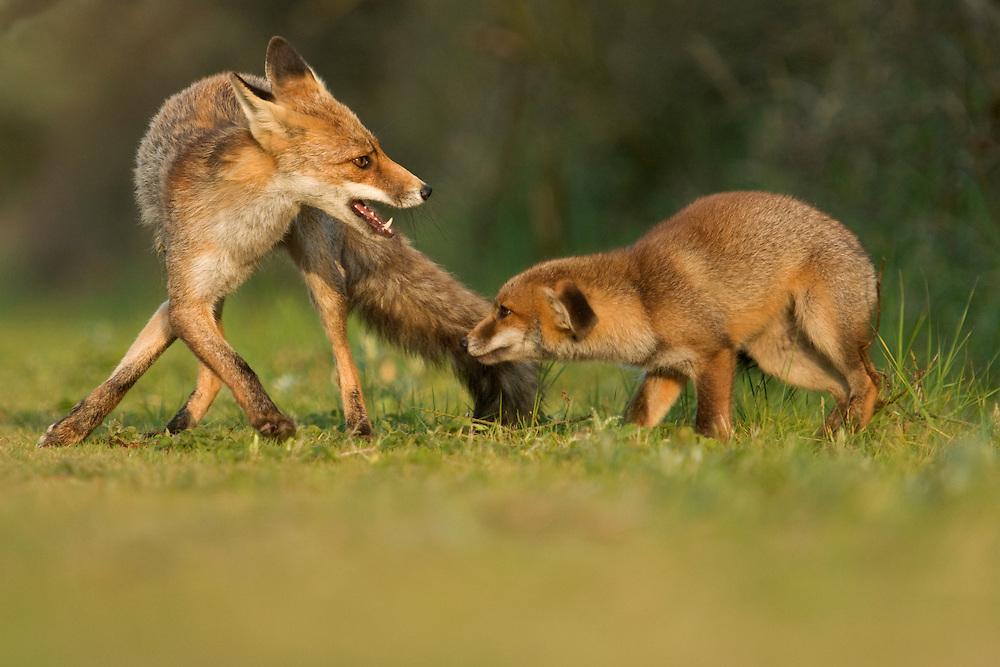 Red fox cub playig with older sister. Amsterdamse waterleidingduinen, The Netherlands. May 2011.<br /> <br /> Rode vos welp speelt met zus. Amsterdamse waterleidingduinen, Nederland. Mei 2011.