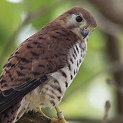 Mauritius kestrel (Falco punctatus) in La Vallée de Ferney. This species was the rarest bird in the world in 1974 with only four individuals left. It has now recovered to over 400 mature birds in the wild.