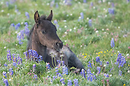 This little foal is named Silver Bow, and she was born to the two-year-old filly, Quillan in late May. Quillan is the 2016 daughter of the mare, Ireland and the stallion, Galaxy. Since Quillan is still with her natal band, nobody is quite certain who the father of Silver Bow is. Perhaps a young stallion snuck into the group while Galaxy was busy defending his girls from marauding bachelors, but we'll never know for sure.