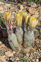 The Texas rainbow cactus usually has a single stem, but may branch when older. Large yellow flowers bloom in the spring from the upper portions of the stem. The stem may have bands of tan, reddish or brown spines, giving it a rainbow appearance. This one was found and photographed in West Texas in the Chihuahuan Desert lowlands just north of the Chisos Mountains.