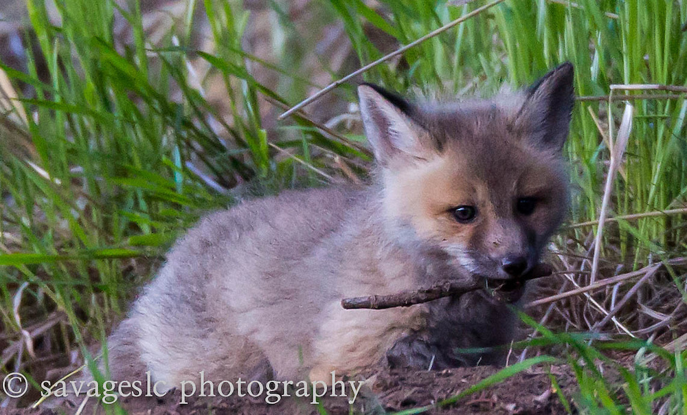 A fox kit playing with a stick. Yellowstone National Park  May 2013