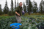 LIVING OFF THE GRID<br /> Paul Castellani harvesting red cabbage at their organic farm. <br /> Anchor Point, Alaska, USA