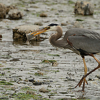 A Blue Heron catches a flounder for dinner in Seattle, WA.