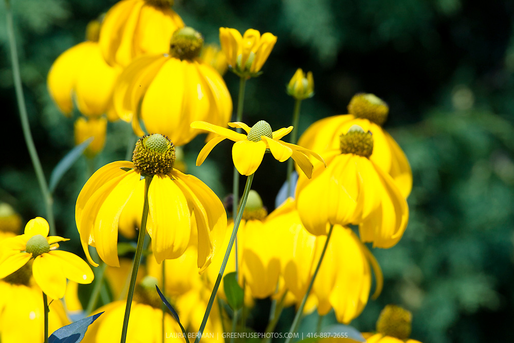 The bright yellow flowers of Cutleaf Coneflower (Rudbeckia laciniata 'Herbstsonne').