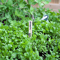 Arugula seedlings in a kitchen garden planted in front of peas.