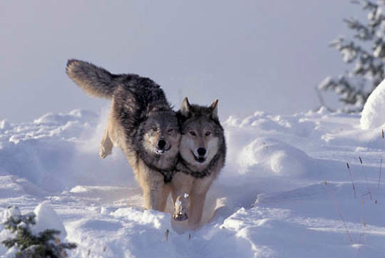 Gray Wolf, (Canis lupus) Running snow. Rocky mountains.  Captive Animal.