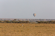 Cheetah hunting gazelle while a hot air balloon flies in the distance in Tanzania, Africa